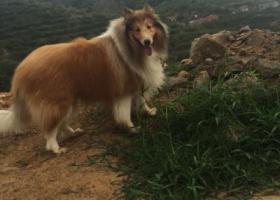 寻狗启示,重金寻爱犬苏牧,名叫达达,在威海市李家夼丢失,它是一只非常可爱的宠物狗狗,希望它早日回家,不要变成流浪狗。