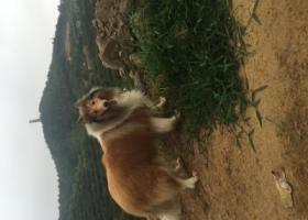 寻狗启示,寻找爱犬苏牧达达 公狗 舌尖有小缺口 脸上一小点疤痕,它是一只非常可爱的宠物狗狗,希望它早日回家,不要变成流浪狗。