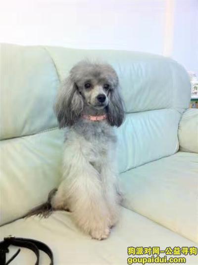 梅州丢狗,求帮忙找一只灰色贵宾犬,它是一只非常可爱的宠物狗狗,希望它早日回家,不要变成流浪狗。