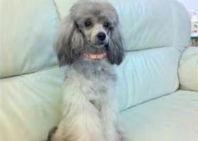 寻狗启示,求帮忙找一只灰色贵宾犬,它是一只非常可爱的宠物狗狗,希望它早日回家,不要变成流浪狗。