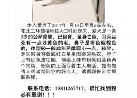 北京鼓楼德胜门寻萨摩耶-17.1.14丢
