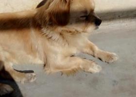 寻狗启示,寻找我家宝贝,名叫奇诺,黄色小狗,求广大朋友们帮帮我,它是一只非常可爱的宠物狗狗,希望它早日回家,不要变成流浪狗。