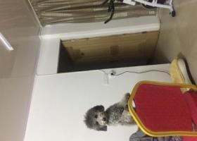 寻灰色泰迪公狗,已经一岁名叫布丁,耳朵和背部还是黑色没退