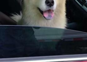 寻狗启示,萨摩-毛毛在临沂苗庄小区内丢失,有看到或收留者请与我们,它是一只非常可爱的宠物狗狗,希望它早日回家,不要变成流浪狗。
