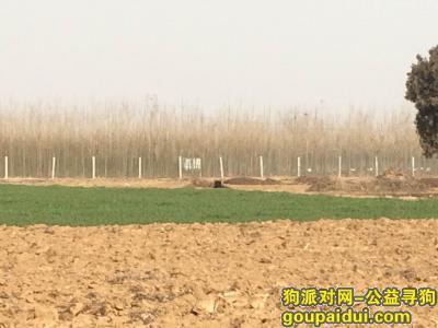 南阳寻狗主人,大黑藏獒-坐标南阳农业示范园王营附近-两天没吃东西,请快快领走,它是一只非常可爱的宠物狗狗,希望它早日回家,不要变成流浪狗。
