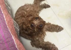 寻狗启示,本人2017年1月23日晚在河东玉山里附近捡到一只棕色泰迪,急寻主人,它是一只非常可爱的宠物狗狗,希望它早日回家,不要变成流浪狗。
