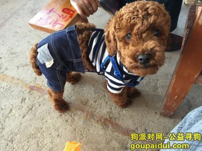 玉溪寻狗启示,云南玉溪江川大转盘寻狗,狗狗名字叫波比,它是一只非常可爱的宠物狗狗,希望它早日回家,不要变成流浪狗。