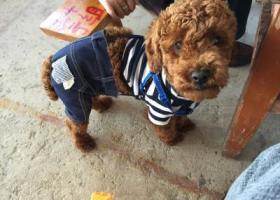 寻狗启示,云南玉溪江川大转盘寻狗,狗狗名字叫波比,它是一只非常可爱的宠物狗狗,希望它早日回家,不要变成流浪狗。
