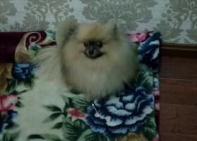 寻狗启示,1月24捡到一只博美狗,它是一只非常可爱的宠物狗狗,希望它早日回家,不要变成流浪狗。