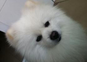 高碑店找狗,白色博美一只