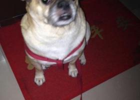 寻狗启示,天津!求助好心人遇到我的狗狗联系我,它是一只非常可爱的宠物狗狗,希望它早日回家,不要变成流浪狗。