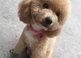 寻狗启示,悬赏一万元寻爱犬 泰迪 徐州寻狗,它是一只非常可爱的宠物狗狗,希望它早日回家,不要变成流浪狗。
