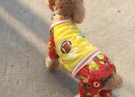 寻狗启示,悬赏一万元寻爱犬 泰迪 徐州寻狗 愿你早日回来 我的宝宝,它是一只非常可爱的宠物狗狗,希望它早日回家,不要变成流浪狗。