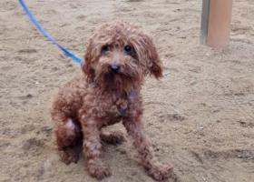 寻狗启示,淮安区汽车站附近,棕色泰迪丢失,请大家帮忙。,它是一只非常可爱的宠物狗狗,希望它早日回家,不要变成流浪狗。