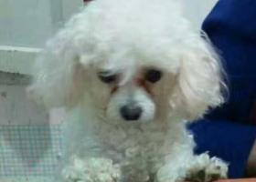 寻狗启示,重金寻找白色比熊犬名叫糖豆,它是一只非常可爱的宠物狗狗,希望它早日回家,不要变成流浪狗。