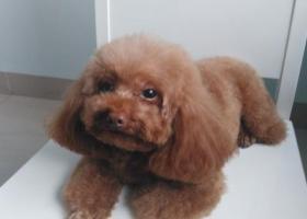 一只棕色小型贵宾犬泰迪在昌茂花园走丢