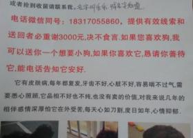 上海3000元寻狗黑色夹综色毛毛泰迪