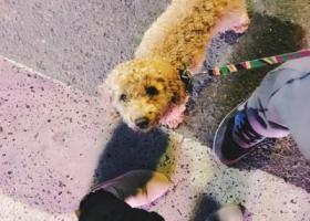 如果有人看到我家嘟嘟请联系我,是一只泰迪狗狗。