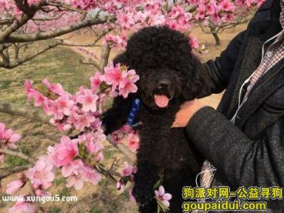 周口丢狗,黑泰迪,三岁,公狗,气肚脐,舌尖上有小豁,它是一只非常可爱的宠物狗狗,希望它早日回家,不要变成流浪狗。