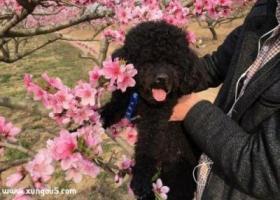 寻狗启示,黑泰迪,三岁,公狗,气肚脐,舌尖上有小豁,它是一只非常可爱的宠物狗狗,希望它早日回家,不要变成流浪狗。