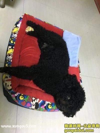 周口寻狗,寻黑泰迪,黑泰迪,三岁多,它是一只非常可爱的宠物狗狗,希望它早日回家,不要变成流浪狗。