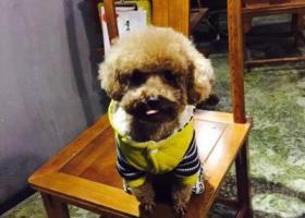 成都郫县安靖附近走失一条三岁泰迪爱犬