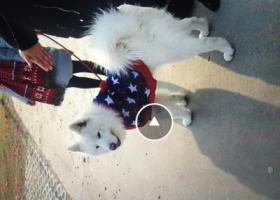 寻狗启示,5000赎回两岁公萨摩,它是一只非常可爱的宠物狗狗,希望它早日回家,不要变成流浪狗。