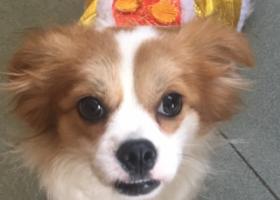 寻狗启示,江门新会寻狗,狗狗姐姐很想你,快快回家,它是一只非常可爱的宠物狗狗,希望它早日回家,不要变成流浪狗。