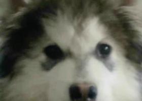 寻狗启示,安丘新佳乐家附近寻狗,它是一只非常可爱的宠物狗狗,希望它早日回家,不要变成流浪狗。