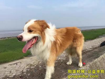 寻狗启示,上海闵行区黎安公园酬谢五千元寻边境牧羊犬,它是一只非常可爱的宠物狗狗,希望它早日回家,不要变成流浪狗。