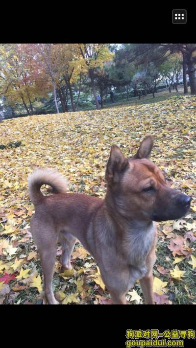 寻狗启示,北京 朝阳区三元桥桥南酬谢五千元寻找狗狗,它是一只非常可爱的宠物狗狗,希望它早日回家,不要变成流浪狗。