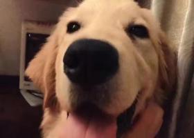 寻狗启示,映湖山庄丢失一条一岁公金毛,它是一只非常可爱的宠物狗狗,希望它早日回家,不要变成流浪狗。