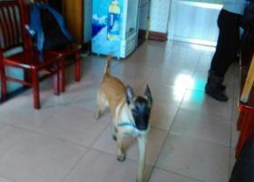 一条马犬在2017年1月31日在花溪人民医院附近走丢。