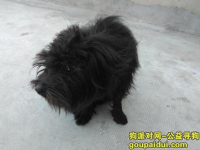 【天津捡到狗】,捡到一只黑色长毛狗.胆小,毛长,不叫,它是一只非常可爱的宠物狗狗,希望它早日回家,不要变成流浪狗。