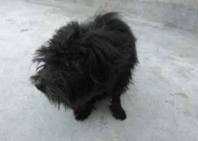 捡到一只黑色长毛狗.胆小,毛长,不叫