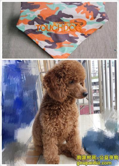 寻狗启示,寻狗启示(泰迪)本人很着急,它是一只非常可爱的宠物狗狗,希望它早日回家,不要变成流浪狗。