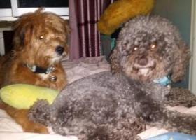 年前在黑牛城道世纪城附近捡到一只灰色泰迪狗公狗。刚修剪过毛,身上有香水味道