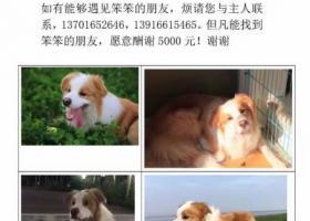 闵行区黎安公园酬谢五千元寻边境牧羊犬