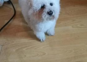 寻狗启示,一月三十一日在济南历城区捡到白色公比熊,它是一只非常可爱的宠物狗狗,希望它早日回家,不要变成流浪狗。