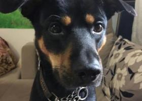 寻狗启示,急求重金寻狗(联系电话:15921252633),它是一只非常可爱的宠物狗狗,希望它早日回家,不要变成流浪狗。