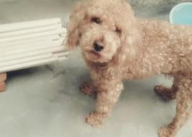 寻狗启示,莆田寻狗启示(求好心人帮忙),它是一只非常可爱的宠物狗狗,希望它早日回家,不要变成流浪狗。