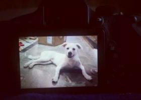 一只纯白色中华田园犬