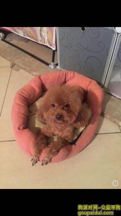 承德寻狗启示,棕色泰迪 豆豆快回家!,它是一只非常可爱的宠物狗狗,希望它早日回家,不要变成流浪狗。