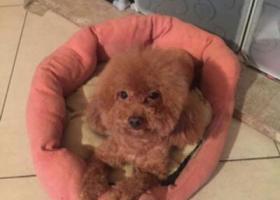 寻狗启示,棕色泰迪 豆豆快回家!,它是一只非常可爱的宠物狗狗,希望它早日回家,不要变成流浪狗。