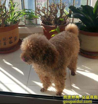 定州寻狗启示,寻找2017年春节在河北定州乡村丢失的七岁泰迪狗狗将军,有重谢,求转发,谢谢!,它是一只非常可爱的宠物狗狗,希望它早日回家,不要变成流浪狗。