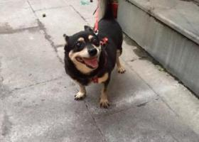 寻狗启示,寻家养14年宠物狗小黑,丢失于金华金东区岭下镇工业园区,它是一只非常可爱的宠物狗狗,希望它早日回家,不要变成流浪狗。