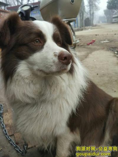 南阳找狗主人,南阳捡到一只棕色边牧,它是一只非常可爱的宠物狗狗,希望它早日回家,不要变成流浪狗。