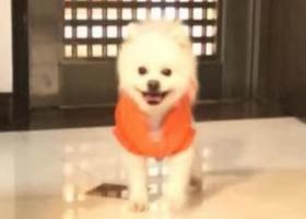 求助:广州荔湾区富力广场附近走失白色博美犬一只