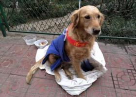 寻狗启示,宝鸡市渭滨区清姜东二路被遗弃金毛求领养,它是一只非常可爱的宠物狗狗,希望它早日回家,不要变成流浪狗。
