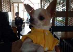 寻狗启示,安徽淮南酬谢一万元寻找吉娃娃,它是一只非常可爱的宠物狗狗,希望它早日回家,不要变成流浪狗。